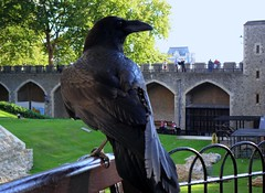 Tower of London Raven (hobbitbrain) Tags: england bird london tower bench raven toweroflondon