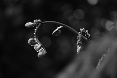 (Rafael A. Rodrguez) Tags: blackandwhite plant fern macro art nature digital forest canon spiral flora rainforest puertorico elyunque rafael alejandro blooming rafaelalejandro rafaelalejandrorodrguez
