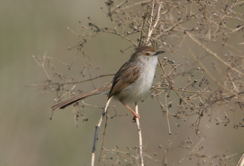 Graceful_Prinia_Galilee_IL_2007_02_09_001.jpg