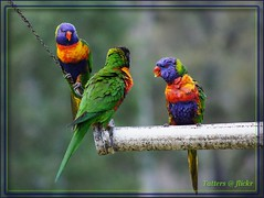 Birds of Australia - Rainbow Lorikeet