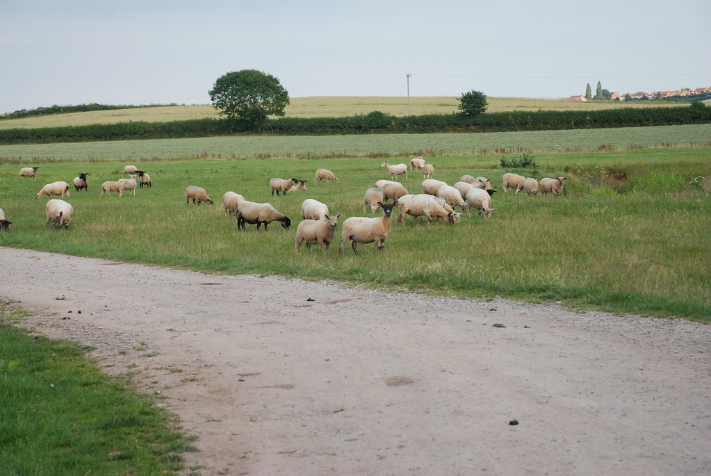 sheep at Gurney Manor