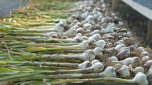 Garlic_Drying