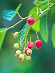 Amelanchier ovalis,  (aeschylus18917) Tags: flowers red flower macro green nature japan fruit season spring berry nikon berries seasons seeds   pxt sugarplum 105mm rosaceae 105mmf28 amelanchier shadbush  105mmf28gvrmicro d700 nikkor105mmf28gvrmicro  sarvisberry amelanchierovalis danielruyle aeschylus18917 danruyle druyle   maleae malinae