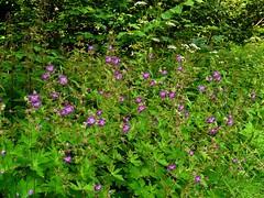 Géranium livide=Geranium phaeum ssp. lividum - Sampeyre 215