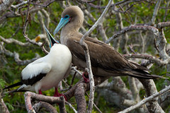A couple of  Red-footed boobies (Rita Willaert) Tags: southamerica ecuador pacificocean equator redfootedbooby zuidamerika galapagosislands bigocean genovesaisland princephilipsteps groteoceaan lavalandscape stilleoceaan roodpootgent deevenaar islagnovesa