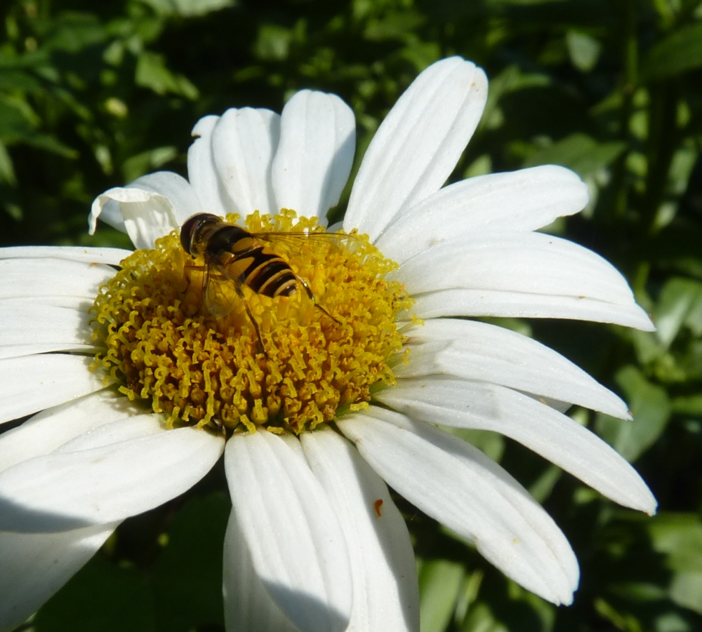 Little Bee on a Daisy
