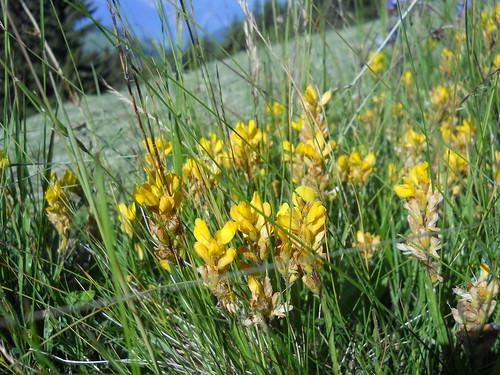 Dyer's greenweed (Genista tinctoria)