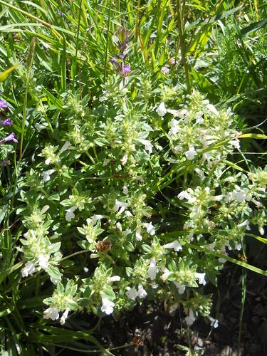 White Alpine Calamint (Acinos alpinus)