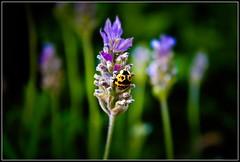Coccinellidae (darcoeme) Tags: chile de san lavender antonio catarina chinita lavanda vaquita mariquita mariquitilla sarantontón