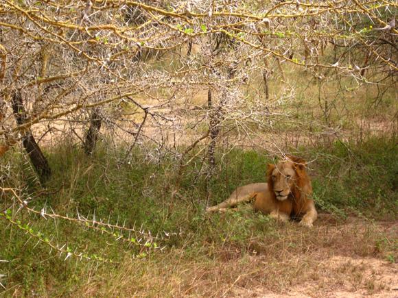 Lion sitting under an acadia tree