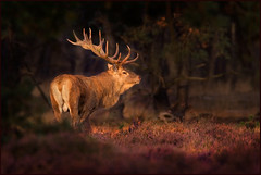 Sunset spotlight (hvhe1) Tags: wildlife animal deer reddeer stag antlers rack gewei edelhert cervuselaphus sunset heather veluwe hogeveluwe netherlands holland hennievanheerden hvhe1 specanimal