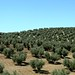 Plantacoes de olivas