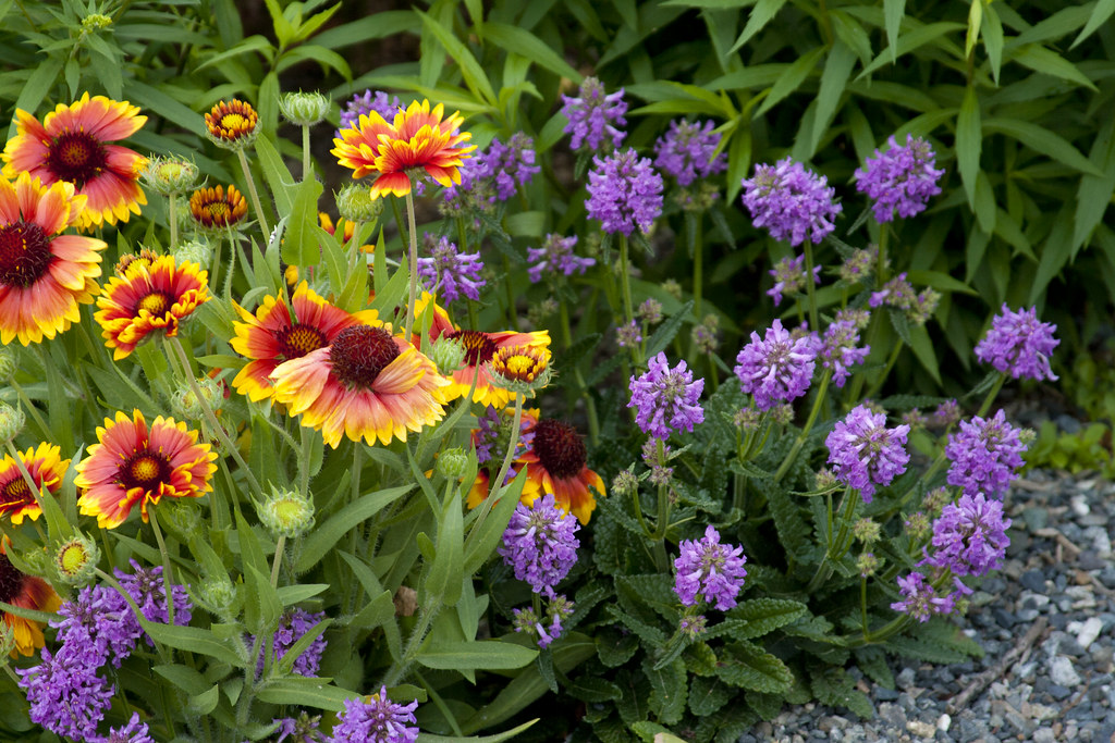 Gaillardia and stachys
