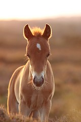 Sunset foal... (felt_tip_felon) Tags: light sunset horse nature animal nationalpark warm wildlife heath hoof newforest lyndhurst mane foal hooves