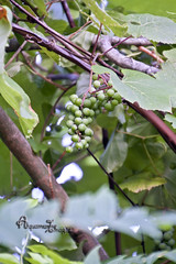 Wild Grapes... (Aquamarine Images) Tags: wild summer fruit forest outdoors vines woods berries wine bottles aquamarine images grapes grape