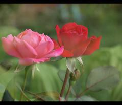 Dreamy (btn1131 theromanroad.org) Tags: flowers roses summer plants floral rose pen olympus multipleexposure zuiko 1442mm epl1 mygearandme