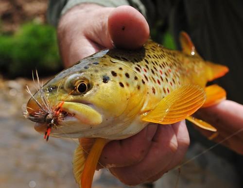 Powder River Brown Trout 2