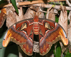Atlas moth (Barry's)(Explore) (Barry & Carole Bowden AWAY FOR A WHILE) Tags: moth atlas attacus