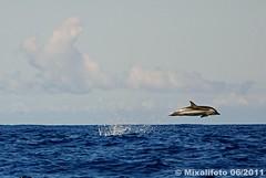 Low-flying dolphin (mixalifoto) Tags: nature mammal marine meer dolphin wildlife natur atlantic pico delfin striped delphine delfine acores azoren stenella coeruleoalba espacotalassa streifendelfin