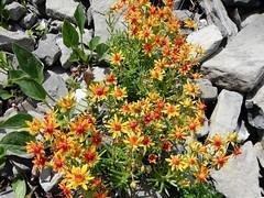 Saxifrage des ruisseaux=Saxifraga aizoides - Aravis 035