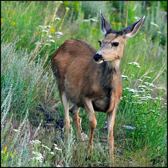 Summer Doe (wellscenephotography (ON)) Tags: nikon wildlife gap doe deer muledeer rockymountainnationalpark d5000 flickraward 100commentgroup flickraward5 mygearandme gap2012 gapmarch gapreview gapreview001 gapselected