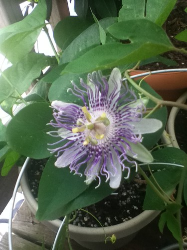 some of my passiflora - Page 2 5982379454_26e32d12fb