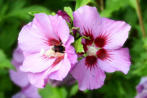 Bumblebee Closeup 1