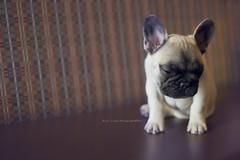 French Bulldog Puppy (Ariel.Liang) Tags: dog cute puppy nikon quebec bulldog sleepy frenchbulldog 35f2