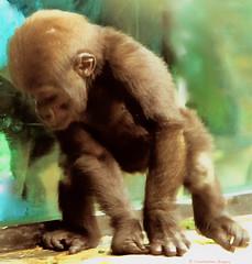 Gorilla at Nine Months (Profcjgregory) Tags: gorilla nine month