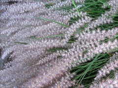 Fountain Grass in the morning