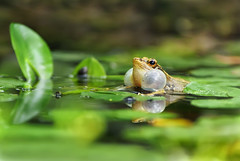 (Fu-yi) Tags: color macro cute animal minolta sony ngc taiwan amphibian frog 300mm taipei 100 lovely alpha dslr  botanicalgarden f28      formosan      ranaguentheri   familyranidae gunthersfrog  artistoftheyearlevel3 peregrino27life  boulenger1882