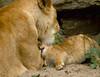 Mother and daughter (Sybren A. Stüvel) Tags: amsterdam animal cat zoo cub klein kat small lion young nederland lick bigcat bite dier artis noordholland jong dierentuin leeuw lik ticuna leeuwtje kianga bijten lens:type=70300mmf456isusm flickrbigcats grotekatachtige