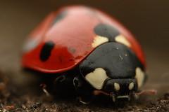 ladybug2 (Meseregan) Tags: macro 50mm 14 ladybug reverse smc 135mm pentaxm 450d