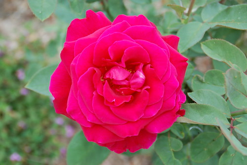 "hybrid tea rose ""mister lincoln"""