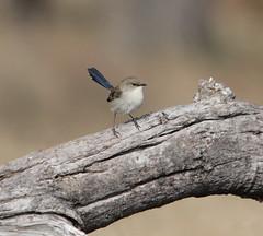Superb Fairy-wren (boombana) Tags: sydney australia nsw australianbirds fairywren 2011 superbfairywren maluruscyaneus malurus