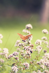 Butterfly (~ Maria ~) Tags: summer orange butterfly countryside dof bokeh oregano countryliving origanumvulgare hbw ginordicaug