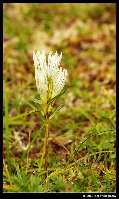 Pale Indian Paintbrush (Castilleja caudata)
