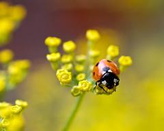 Ladybird on Fennel (sparkione) Tags: flower garden explore ladybird ladybug fennel herb sparkione