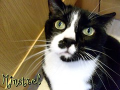 Minstrel the cat (Hamzie) Tags: portrait pet white black cute face cat fur head edited lovely mixedbreed minstrel