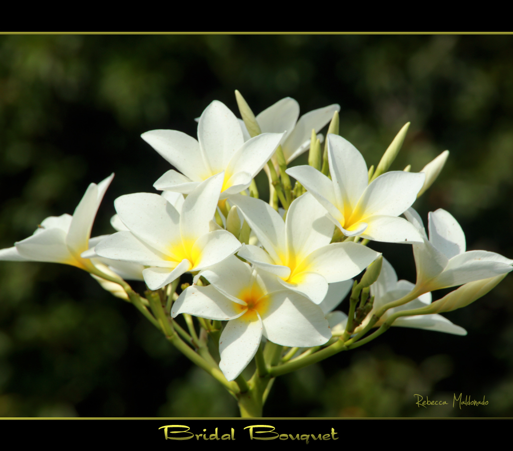 Madison White Plumeria