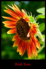 Aug032011_0924-Red-Sun (©Delos Johnson) Tags: flowers canon garden sunflower topaz delos g9 detail4 denoise