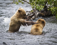 """""""You're Going Down"""" (MommaD photos) Tags: travel wild usa playing nature water animals alaska river outside outdoors evening nikon exercise wildlife cubs wilderness kenaipeninsula behavior mammals russianriver splashing ursusarctos naturalhabitat grizzlybears brownbears 2011 grizzlycubs twocubs brownbearcubs tnwaphotography yearlingcubs"""