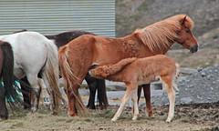 Mare breastfeeding a foal (daniel virella) Tags: horse iceland mare farm chestnut colt ísland breasfeeding foal icelandichorse northerniceland íslenskihesturinn íslenskurhestur chestnutcoat