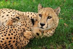 6397 Cheetahs (greyhound rick) Tags: cheetah phoenixzoo bigcats cheetahs