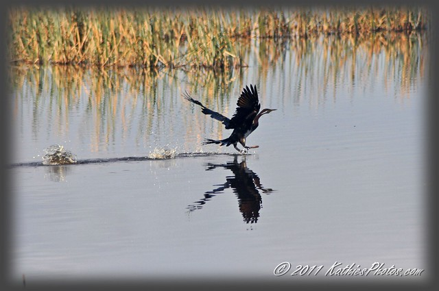 Darter bird skims the lake