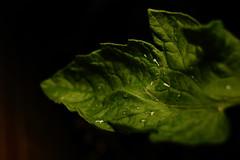 Solanum lycopersicum (Daniel Gillespie) Tags: focus sigma 24mm manual hotlight 550d t2i litepanels
