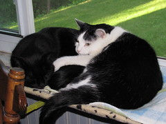 Snuggled Together (TrueWolverine87) Tags: cats cute funny adorable kitties planet animalplanet windowseat laying