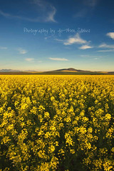 the world is a brighter place! (Jo-Ann Stokes) Tags: blue yellow clouds happy spring skies bright hills durbanville canolafields