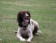 dogs spaniel southampton