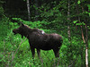 Moose in Wild June 2011 (Judi P45) Tags: photo gallery first cannon g6 my